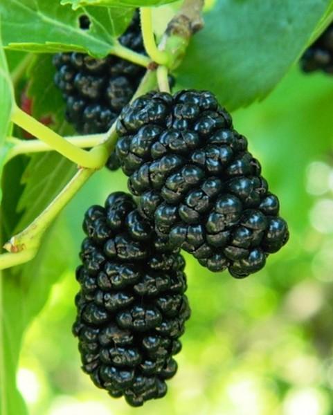 schwarzer maulbeerbaum im topf maulbeeren maulbeere ebay. Black Bedroom Furniture Sets. Home Design Ideas