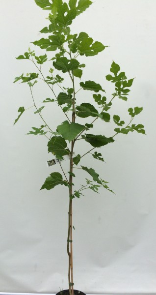 schwarzer maulbeerbaum ca 180 200 cm im topf maulbeeren maulbeere. Black Bedroom Furniture Sets. Home Design Ideas